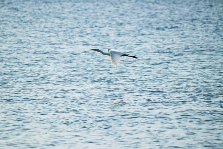 bittern: Bittern flying over the sea