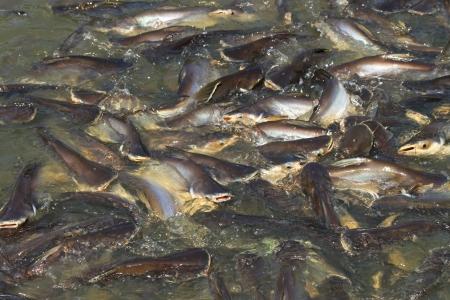 recolectar: Pangasius sutchi se re�nen para alimentarse en el canal