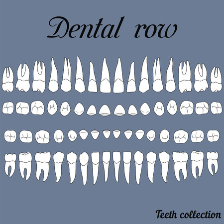 anatomically correct teeth - incisor, cuspid, premolar, molar upper and lower jaw front and top views  on white Vectores