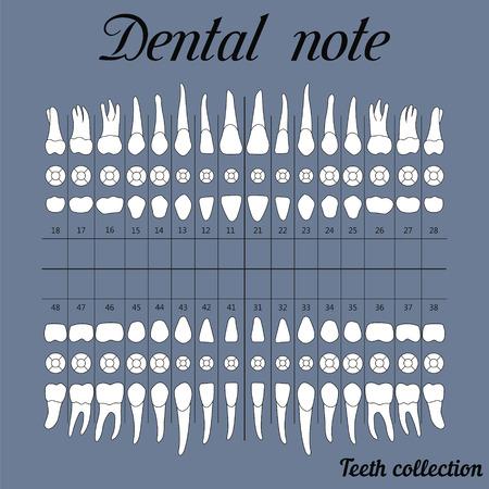 Note dentaire de la mâchoire supérieure et inférieure, la surface de mastication des dents incisives, canines, prémolaires, bikus, molaire, dent de sagesse, pour l'impression ou la conception