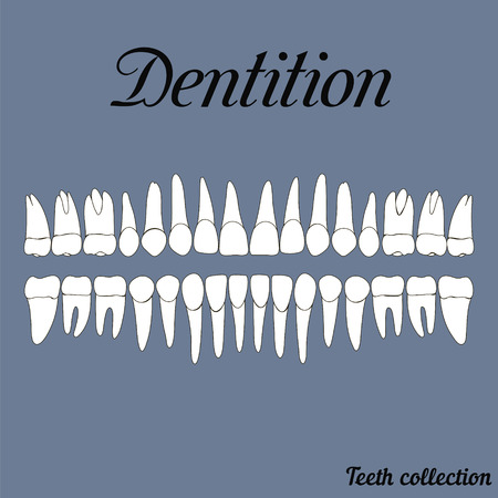 Dentition teeth - incisor, canine, premolar, molar upper and lower jaw. illustration for print or design of the dental clinic