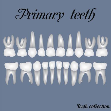 Primäre Zähne - Krone und Wurzel, die Anzahl der Zähne Ober- und Unterkiefer fertig sind einfach für den Druck oder Design zu bearbeiten