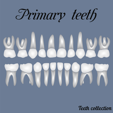 Primary teeth - crown and root , the number of teeth upper and lower jaw done are easy to edit for print or design