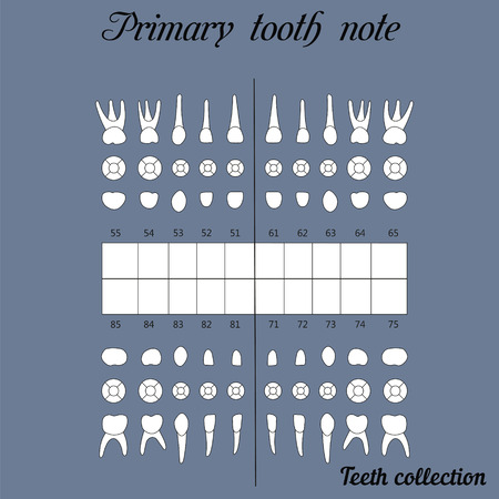 premolar: primary teeth note upper and lower jaw , the chewing surface of teeth incisor, canine, premolar, bikus, molar , wisdom tooth,  for print or design