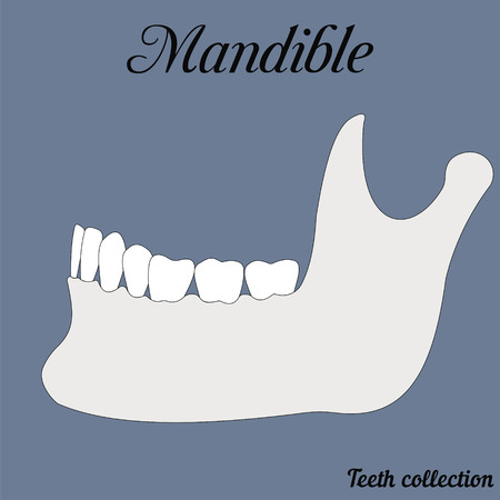 mandible - bite, closure of teeth - incisor, canine, premolar, molar upper and lower jaw. illustration for print or design of the dental clinic