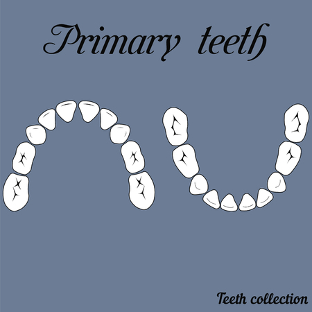 lower teeth: Primary teeth  Chewing surface - crown and root , the number of teeth upper and lower jaw donefor print or design Illustration