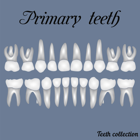 incisor: Primary teeth - crown and root , the number of teeth upper and lower jaw done  for print or design