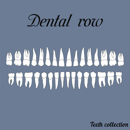 dental row teeth - incisor, canine, premolar, molar upper and lower jaw. illustration for print or design of the dental clinic Vectores