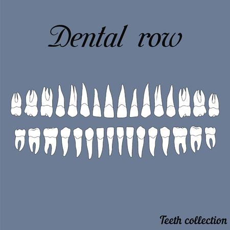 maxilla: dental row teeth - incisor, canine, premolar, molar upper and lower jaw. illustration for print or design of the dental clinic Illustration