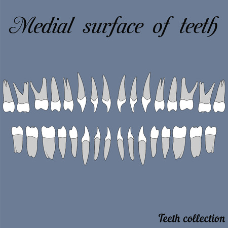 Medial surface of teeth - incisor, canine, premolar, molar upper and lower jaw. illustration for print or design of the dental clinic
