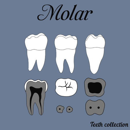 pulp: Human tooth - molar - tooth anatomy - dentine, enamel, pulp, root, for design or printing