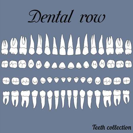 anatomically correct teeth - incisor, cuspid, premolar, molar upper and lower jaw front and top views  on white Ilustração