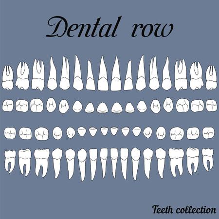 anatomicamente corrette denti - incisivo, canino, premolare, viste superiori e inferiori anteriori della mascella e superiori molari su bianco