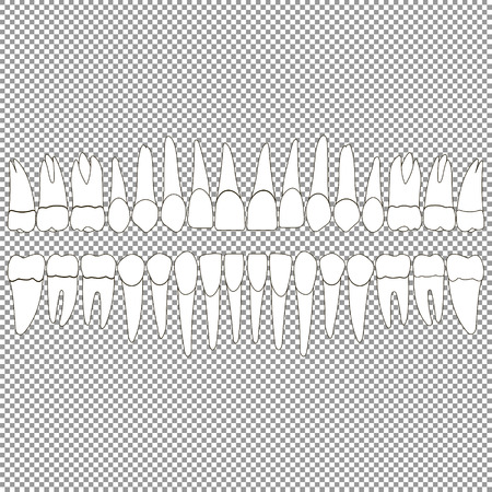incisor: An anatomically correct dentition upper and lower jaw chart. Set of teeth crown and root of the incisor, canine, premolar, and molar t??th on the mounting grid.Vector illustration for print or design dental website.