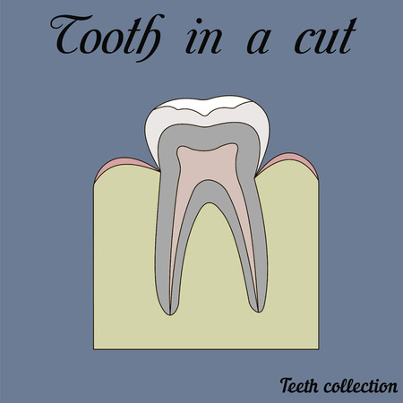 tooth in a cut - molar - tooth anatomy - dentine, enamel, pulp, root, vector for design or printing