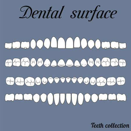 lower teeth: dental surface upper and lower jaw , the chewing surface of teeth incisor, canine, premolar, bikus, molar , wisdom tooth, in vector for print or design