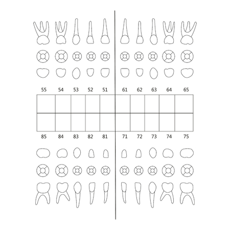lower teeth: primary tooth note upper and lower jaw , the chewing surface of teeth incisor, canine, premolar, bikus, molar , wisdom tooth, in vector for print or design Illustration