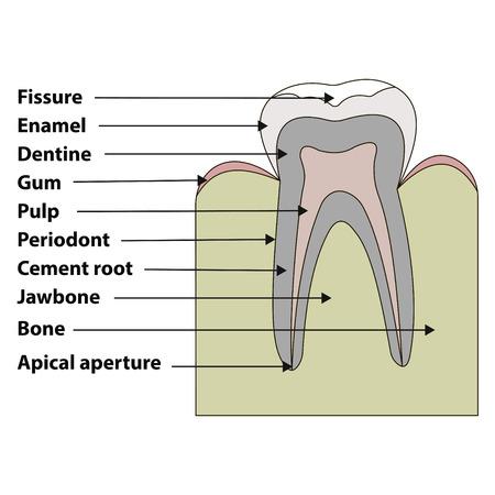 dental pulp: anatomical structure of the tooth fissures, enamel, dentin, gums, pulpa, periodont, root cement, jaw, bone vector illustration for print or design Illustration