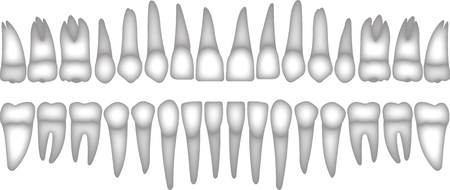 premolar: 3D human teeth isometric vector icons set. Dental implant vector flat isometric illustration, Human tooth isolated on white. Illustration