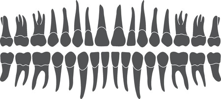Human tooth crown and root, the tooth row is made in the vector are easy to edit Ilustração
