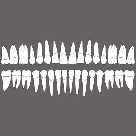 Dentatura, denti bianchi e le radici su uno sfondo grigio per la clinica odontoiatrica, corone dentali e le radici fatto in vettoriale e colori facilmente modificabili e forma. Archivio Fotografico - 64319889