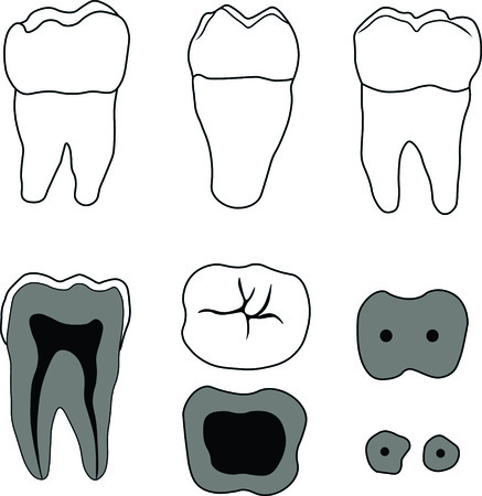 molar: molar tooth with different angles and in the context