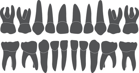 lower teeth: baby teeth - crown and root , the number of teeth upper and lower jaw done in vector are easy to edit