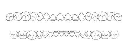 incisor: chewing surface of teeth of fissures Illustration
