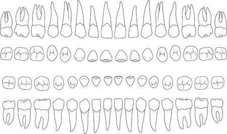 premolar: anatomically correct teeth - incisor, cuspid, premolar, molar upper and lower jaw front and top views in vector on white