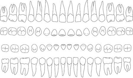 anatomisch korrekte Zähne - Schneidezahn, Eckzahn, Prämolaren, Molaren Ober- und Unterkiefer vorne und oben Blick in Vektor auf weiß