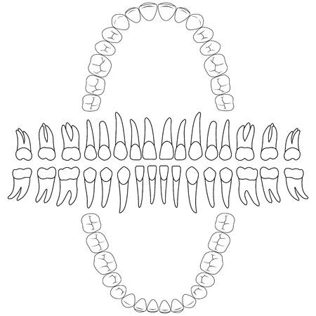 contours teeth. tooth formula, print or dental clinic