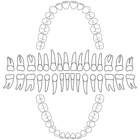 contours teeth. tooth formula, print or dental clinic