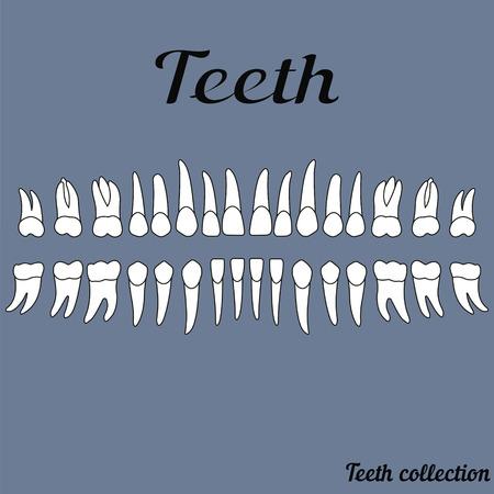 dentin: The teeth of the human dentition, healthy teeth, vector Illustration