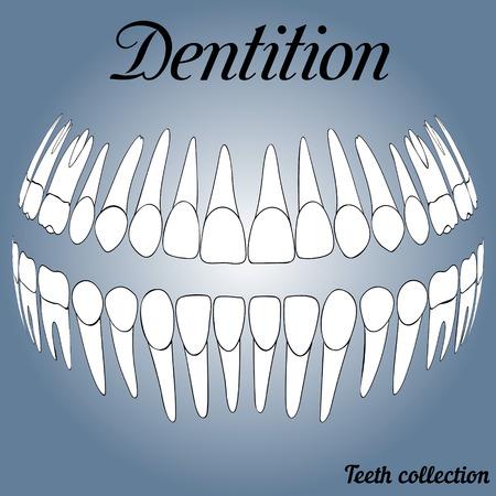 incisor: 3D dental records, teeth vector 3D