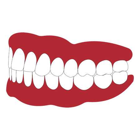 dentures: dentures with white teeth, dentition the gums of the upper and lower jaw, the bite in occlusion, vector illustration for dental clinic Illustration