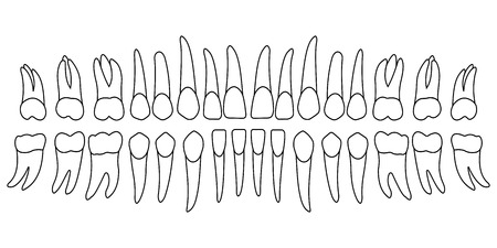 coronal: set of human teeth, the upper and lower jaw, the coronal part of the tooth and root, vector template for dental clinic