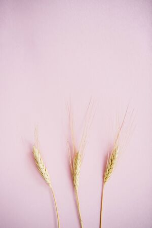 Spikelets of wheat on a pink background.Flat lay.