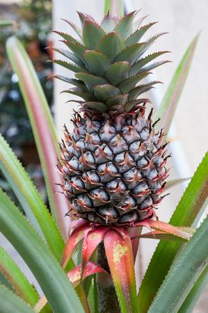 pineapple tree: Pineapple Tree
