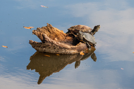 sky reflection: Turtles on lake with sky reflection