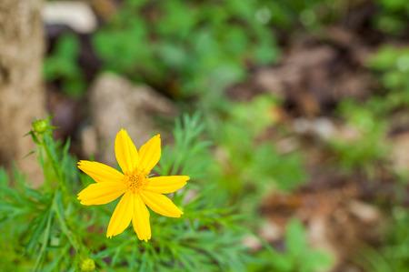 tickseed: Tickseed Flower