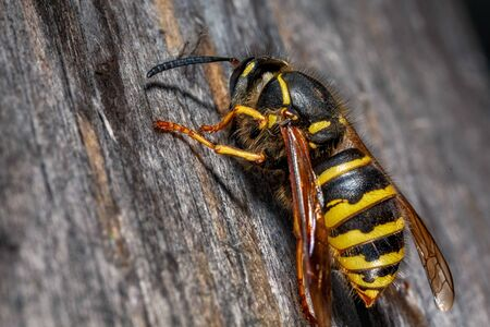 Dangerous wasp on the gray wood close-up. Banque d'images