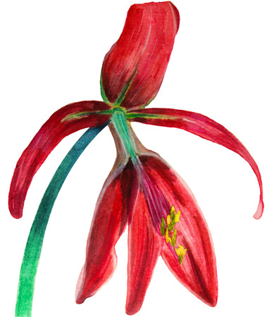 Watercolor hand drawn illustration of red blossom Sprekelia Stock Photo