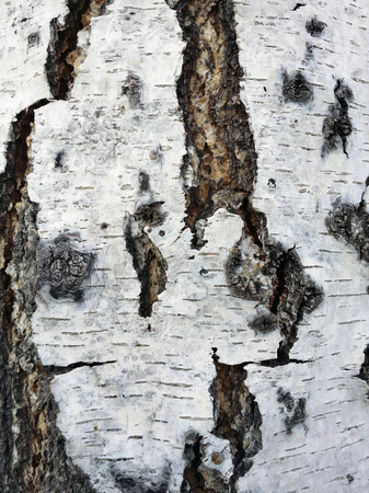 Light background with birch texture for your design