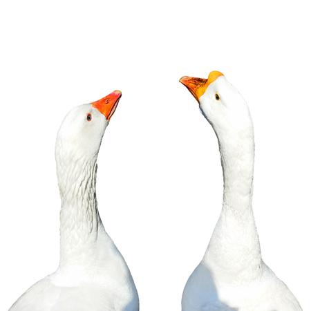 Two white goose bird heads isolated on white