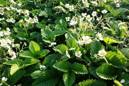 Bright green background with leaves and white bloom of wild strawberry in home garden