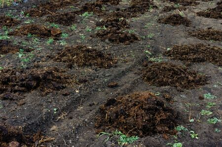 Piles of manure on the field to fertilize the harvest