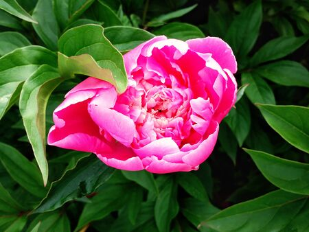 Top view of pink peony flower blooming on a background of green leaves Banque d'images