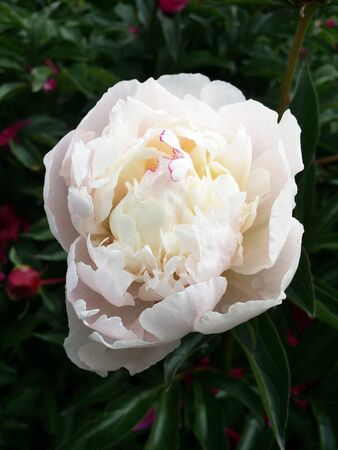Close-up of white peony flower on a garden background with green leaves and red blossoms