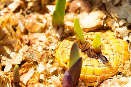 Orange gladiolus bulbs with young green sprouts in wet sawdust