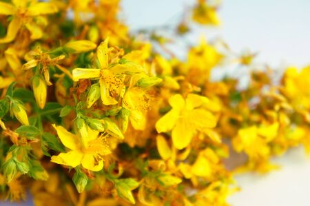 Background with yellow St. Johns wort flowers for card, web banner
